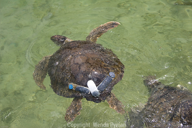 Loggerhead sea turtle with lead weights to fight bouyancy due to gases and impaction.
