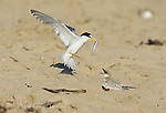 Least Tern (Sterna antillarum), endangered California race, adult bringing fish to feed its young, Huntington Beach, California, USA