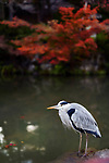 Japanese Gray heron, Aosagi, standing by the pond in fall nature scenery in Kyoto, Japan