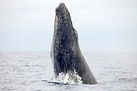 Breaching humpback whale, Megaptera novaeangliae, Maui, Hawaii.