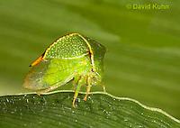 1109-0817  Buffalo Treehopper, Ceresa alta © David Kuhn/Dwight Kuhn Photography.