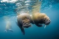 Atlantic walrus, Odobenus rosmarus rosmarus, Spitsbergen, Svalbard, Norway, Arctic Ocean