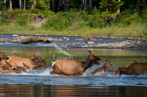 Roosevelt Elk or Olympic Elk (Cervus canadensis roosevelti).  Pacific Northwest, summer.  (Elk are along the Queets River in Olympic National Park's rain forest).