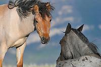 Wild Horses or feral horse (Equus ferus caballus).  Western U.S., summer.