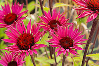 Echinacea purpurea 'Cheyenne Spirit' (one color from mix, ruby red)