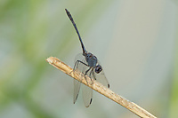 389080010 a wild adult male black setwing dragonfly dythemis nigrescens perched on a small stick obelisking or orienting its body to minimize heat from the sun in bentsen rio grande valley state park south texas