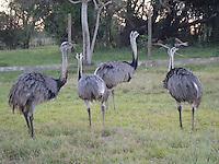 Yacyreta Ostriches, Ayolas, Paraguay