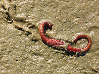 Wattwurm, Watt-Wurm, Pierwurm, Köderwurm, Köder-Wurm, Sandpierwurm, Sandpier, Arenicola marina, European lug worm, blow lug