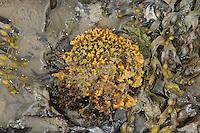Hymeniacidon perleve