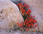 Joshua Tree National Monument, CA<br /> Seedpods and blossoms of Desert Paintbrush (Castilleja chromosa) in a crevice of rocks