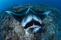 reef manta ray, Manta alfredi, being cleaned by cleaner wrasse at cleaning station, Fiji, South Pacific Ocean