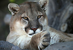 Daniel, a 6-year-old mountain lion, watches a visitor at the Animal Ark Wildlife Sanctuary, north of Reno, Nev., on Monday, May 1, 2017. <br /> Photo by Cathleen Allison/Nevada Photo Source