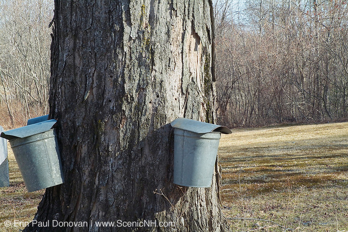 Buckets collecting sap from a Maple tree in New Hampshire, which is part of the New England  USA.