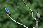 Mountain bluebird, Sialia currucoides, mating, pair, male, female, perched, aspen snag, branch, summer, June, morning, wildlife, nature, Beaver Meadows, Rocky Mountain National Park, Colorado, USA