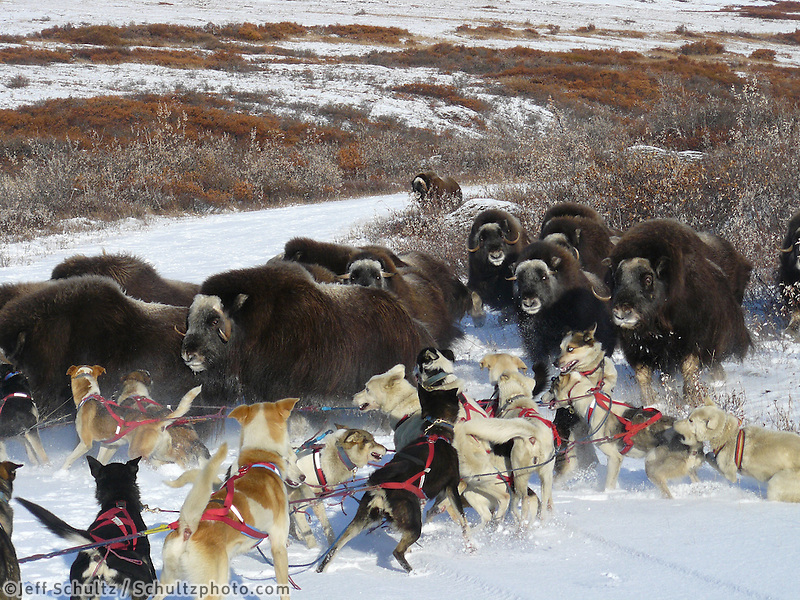 Melissa Owens dog team encounters muskox herd during a 2007 training run outside Nome, Alaska in the late fall.  Photo by Heather Williams