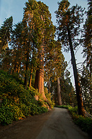 A giant sequoia, Sequoiadendron giganteum, towers over Ponderosa Drive in Sequoia Crest, CA