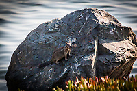 A ground squirrel stands motionless on a rock along the shoreline at Encinal Beach along San Francisco Bay.