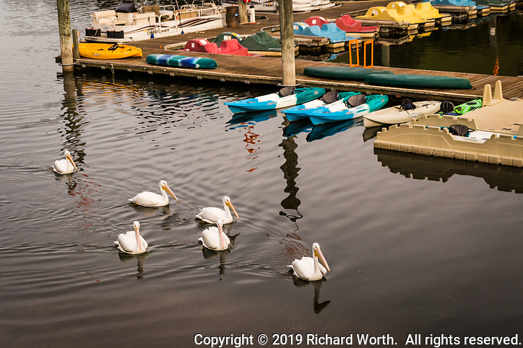 A pod of pelicans paddles around the marina at Lake Chabot Regional Park where colorful rental boats are moored, waiting.