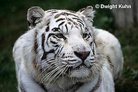 MA40-029z  Bengal Tiger - white phase - Panthera tigris