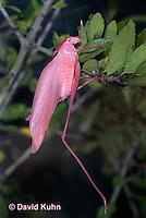0408-1103  Oblong-Winged Katydid, Very Rare Pink Morph, Amblycorypha oblongifolia  © David Kuhn/Dwight Kuhn Photography