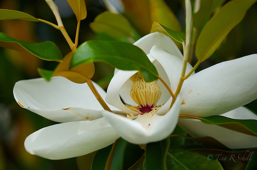 Magnolia, Kiawah