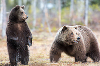 bears of finland 2015