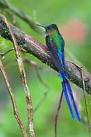 Violet-tailed Sylph (Aglaiocercus coelestis coelestis), male.