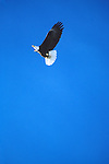 Bald Eagle soaring through blue Montana sky