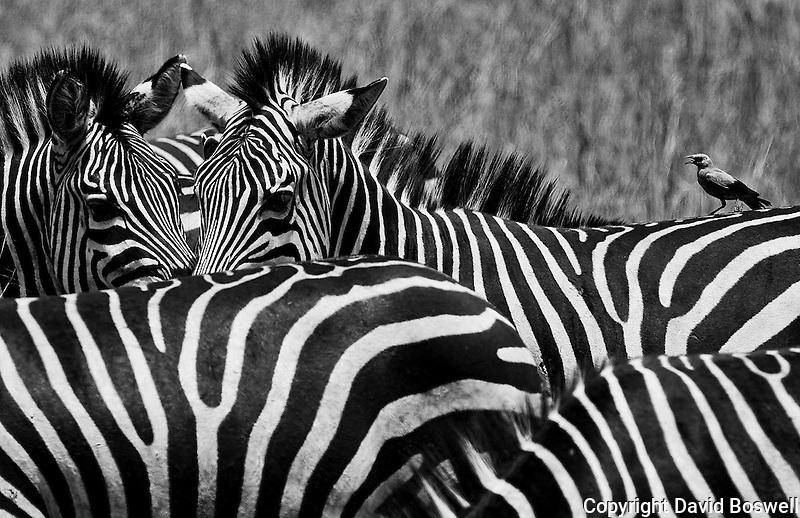 Zebras and bird in Tarangire National Park in northern Tanzania
