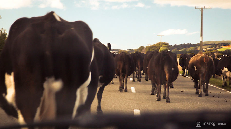 You will usually come across stock on the road at least once when driving on the roads of the Wairarapa. This time round it was a herd of cows.