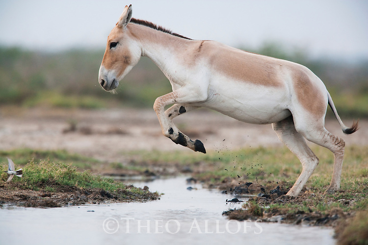 Indian wild ass (Equus hemionus khur) jumping across creek;<br /> The Indian wild ass's range once extended from western India, through Sind and Baluchistan, Afghanistan, and south-eastern Iran. Today, its last refuge lies in the little Rann of Kutch and its surrounding areas of the Greater Rann of Kutch in the Gujarat province.
