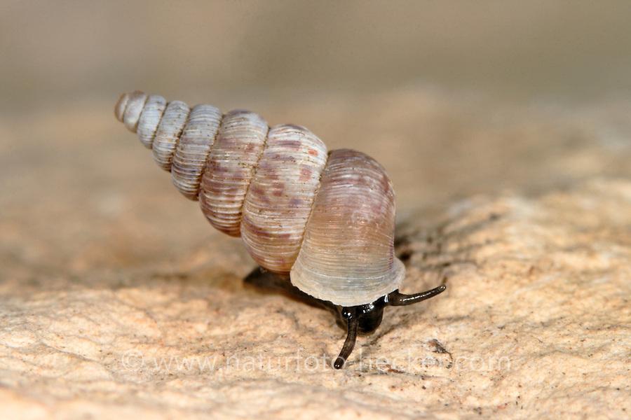 Kleine Walddeckelschnecke, Kleine Walddeckel-Schnecke, Cochlostoma septemspirale, Seven-whorled Cochlostome, Cyclostoma maculatum, Walddeckelschnecken, Cochlostomatidae, Cyclophoridae