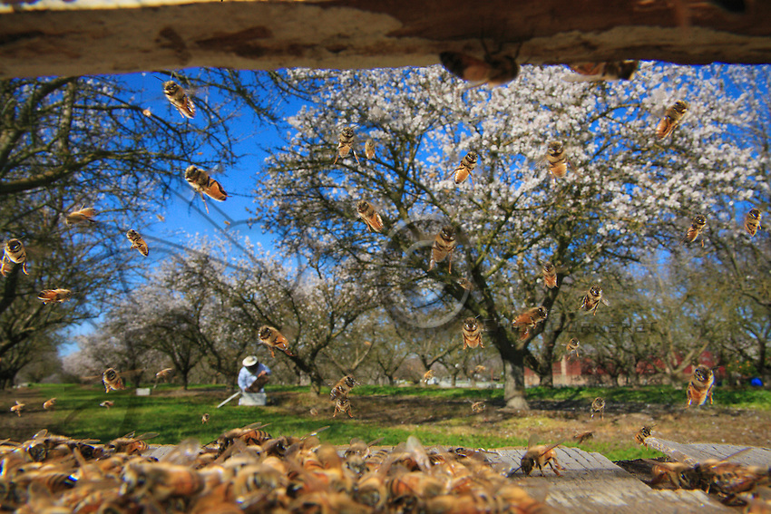 In a flowering almond orchard, Orin Johnson, Californian beekeeper, inspects a hive.