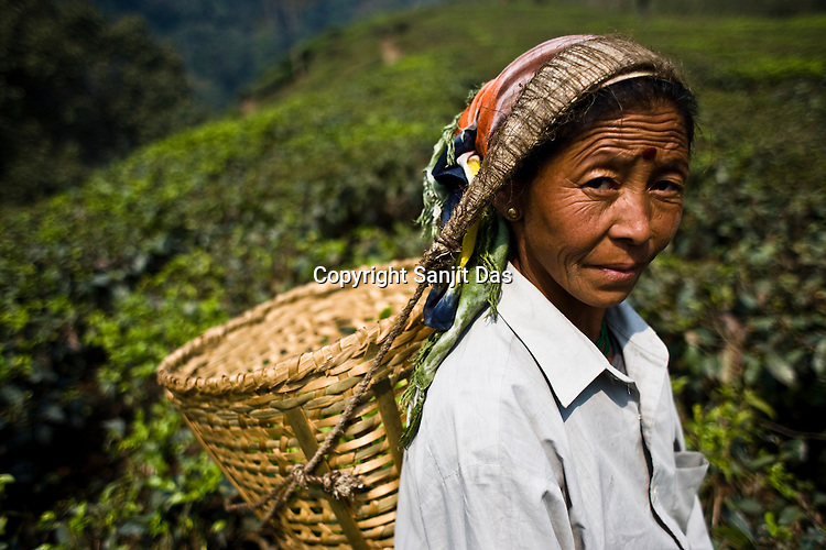 46 year old tea picker,Bina Rai poses for a photograph while plucking the first flush Darjeeling tea leaves at Makaibari Tea estate, Kurseong in Darjeeling, India.