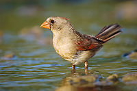northern cardinal, Cardinalis cardinalis, female bathing, Willacy County, Rio Grande Valley, Texas, USA, North America