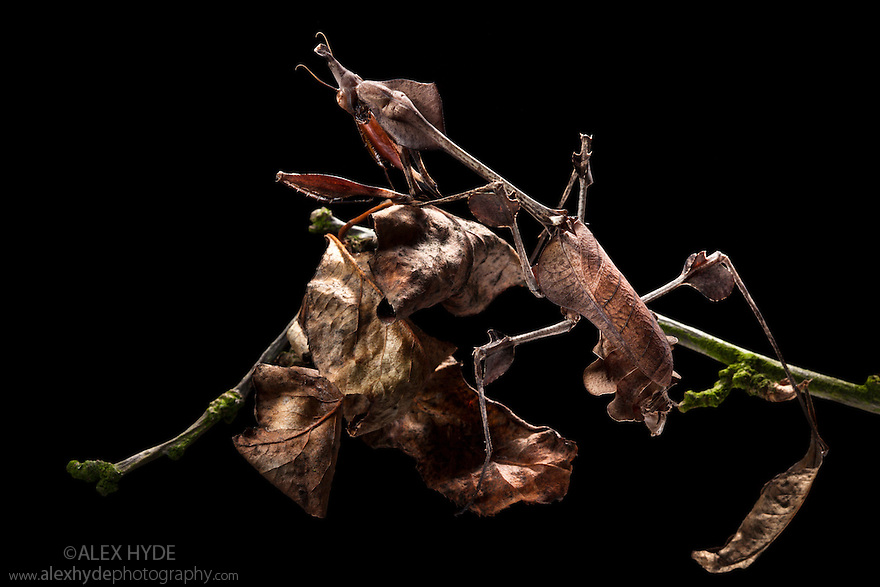 Violin Mantis female {Gongylus gongylodes} showing excellent camouflage amongst dead leaves. Captive. Distribution: India & Sri Lanka.