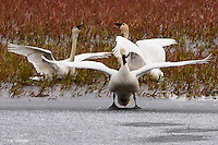 Adult swans have an animated discussion as autumn sets in 250 miles of the Arctic Circle on Alaska's north slope.