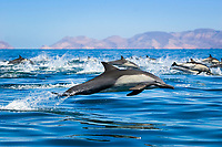 a large pod of short-beaked common dolphins, Delphinus delphis, lunging, jumping, in high speed, Gulf of California or Sea of Cortez, Baja California, Mexico, Pacific Ocean