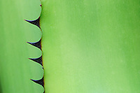 thorny leaves of a rainforest agave, Agave sp., rio negro, amazonas, brazil