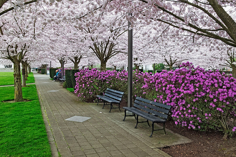Path at State capitol grounds with flowering cherry trees. Salem, Oregon