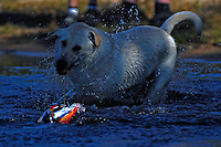 A dog chases an RC boat in the pits