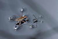 Gemeiner Wasserläufer, Wasserschneider, Gerris lacustris, common pond skater, common water strider, Wasserläufer, Gerridae, water striders