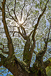 Sunburst through finely detailed tree branches, Banda Aceh