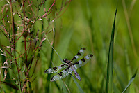 Male Twelve-spotted Skimmer Dragonfly (Libellula pulchella).  Pacific Northwest.  Summer.