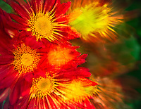 Autumn's red and gold displayed in a fall- blooming chrysanthemum double exposure.