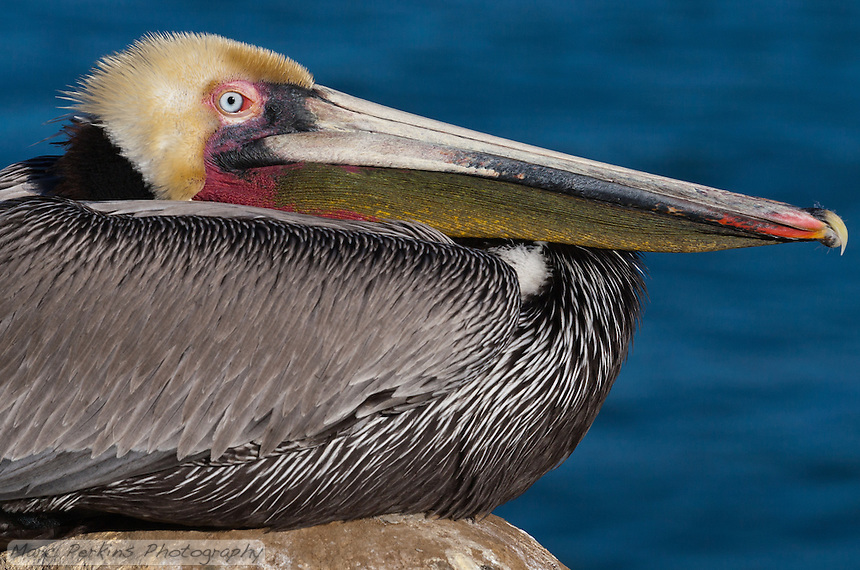 This California brown pelican (Pelecanus occidentalis californicus) is photographed sitting on a rock in front of the ocean. This closeup shows only a portion of the bird, focusing on the beak with its The beak, bill pouch (gular sac), and eye are all sharply in focus, and visible clearly above the folded-up body.