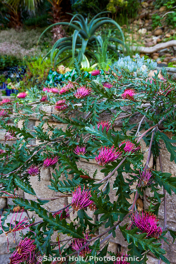 Grevillea 'Fanfare' aka. 'Austraflora Fanfare' cascading over stone wall, Jim Bishop and Scott Borden garden