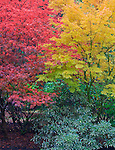 Vashon Island, WA<br /> Red and yellow fall colored maples (Acer palmatum)  in a garden setting