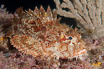 Sea of Cortez, Baja California, Mexico; a Stone Scorpionfish (Scorpaena mystes) raises it's dorsal fin while resting the rocky reef at night