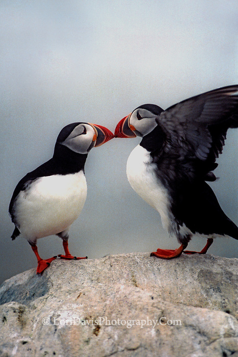 """Kissing Puffins""  #P2"
